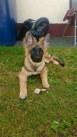 German sheperd bitch pup