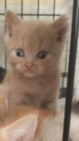British shorthair kittens cream lilac gingery boy rest girls