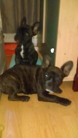 Two beautiful french bulldogs looking for there new home