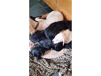 Miniature Poodle x chihuahua ( chipoo ) 1 boy left