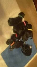 Lhasa apso puppy's for sale