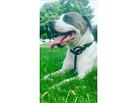 Louis the white staffy with blue spots