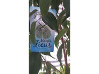 Ficus house plants tree, Ficus Exotica