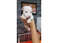 5 x staffy bitch pups for sale ready audust 19th