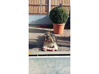 Yorkshire terrier cross busion frise.. male pup under two yr old.