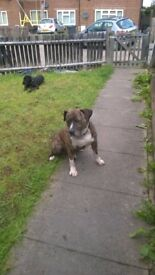 Bully canerio puppies for sale