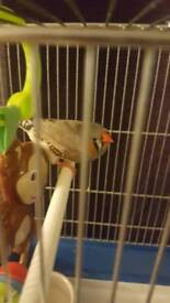 3 zebra finch and cage