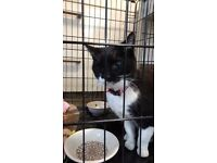 FOUND Black and White cat with red collar. FINAGHY