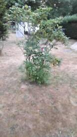 Wild rose garden plant flower