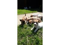 Jack Russell x chihuahua puppies
