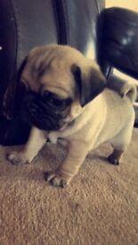 5 *Chunky pug puppies