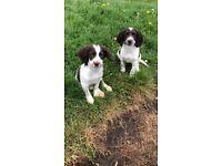 Full pedigree kc registered English springer spaniel female puppies