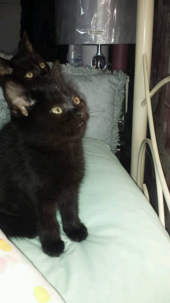 Kittens for sale £50 each