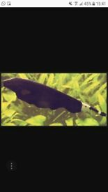 Selling my ghost knife fish 12 inch