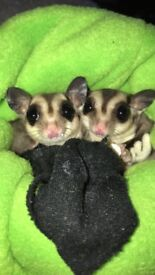 Two gorgeous sugar gliders for sale