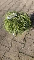 Golhaarzypresse Zypresse 20-30 cm Nordrhein-Westfalen - Simmerath Vorschau