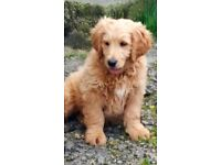 Golden Doodle Pups. Ready Now. Vaccine, chip, wormed flead, lifetime support.