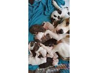 Beautiful american bulldog puppies 350 pound ready in 5 weeks wormed and microchipped