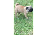 Beautiful female pug puppy 10 weeks old