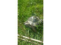 Female horsefield tortoise