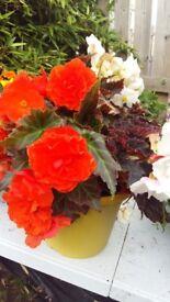 Lovely summer flowering pots
