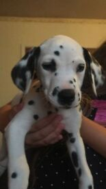 3 beautiful gitl dalmatians