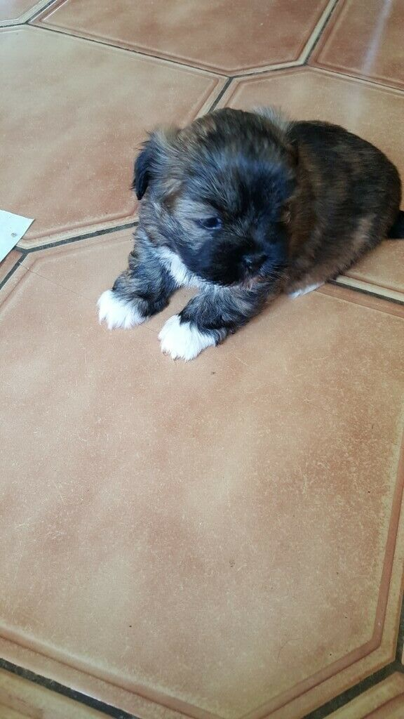 pedigree lhasa apso puppies for sale | in Norwich, Norfolk | Gumtree