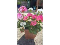Mixed Geranium Container - planted and ready to go (pretty repeat flowers)