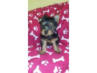 Mini Female Yorkshire Terrier puppy for sale