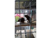 2 friendly Degus with cage and accessories £20 to good home