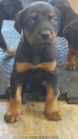 Purebred Doberman puppies Black and Tan European bloodline