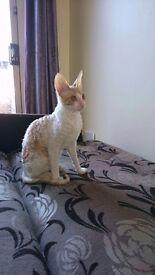 Cornishrex kitten for sale