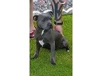 Blue Staffordshire bull terrier female