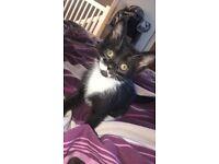 2 Half tonkinese kitten for sale , 9 weeks old