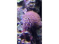 Marine xenia live coral