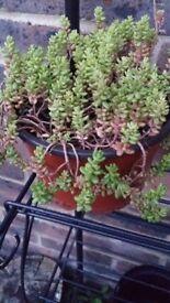 Sedum Plants