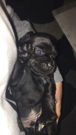 Mixed Breed Pup