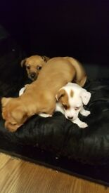 3 beautiful jack russel puppies