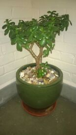 FREE money plant about 15 years old in lovely pot with pretty stones
