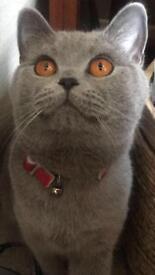 British Shorthair Femal Cat