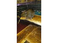 2 degu and a large cage! plus all accessories!