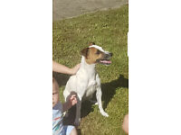 JRT needs a new loving home
