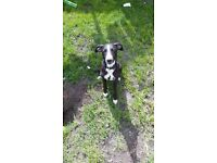 Whippet x patterdale puppy 16 weeks old house trained comes with everything