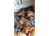 Cane Corso X puppies
