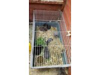 Baby rabbits for sale lion head cross ready now