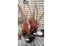 Phormium tenax Purpureum - New Zealand Flax - various sizes