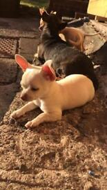 Kc reg smooth coat female chihuahua