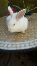 Female adult rabbit looking for loving home