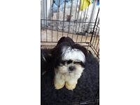 Small imperial type shih tzu puppie black and white party boy