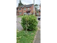 FREE 5Ft laurel hedge TAKE TODAY B8 1QW